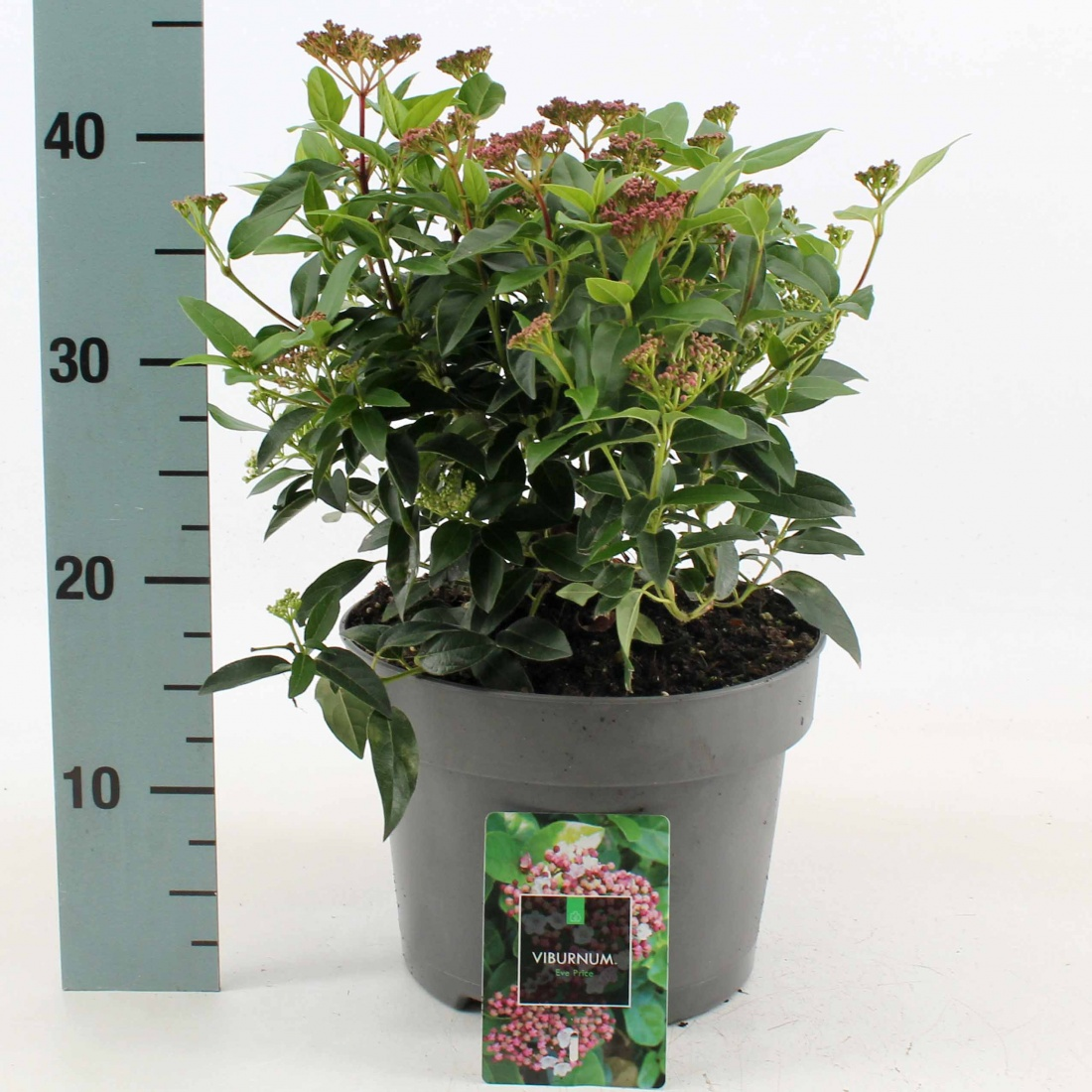 Viburnum tin. 'Eve Price', met knop